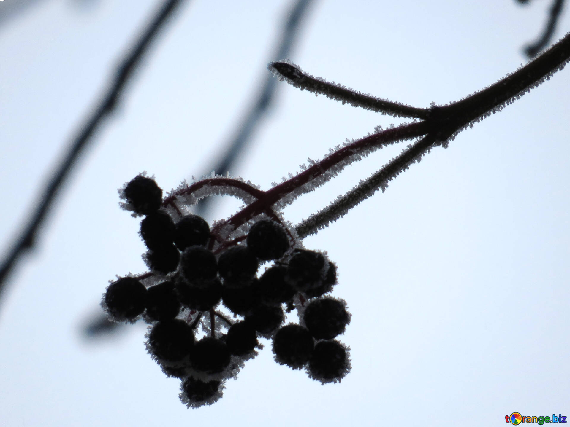 Download free image Frost winter berries in HD wallpaper size 1920px
