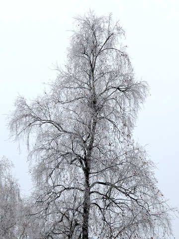 Birch in winter is covered with Frost №38080