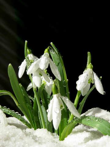 Весенний цветок №38354