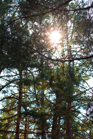 The sun shines through the tops of pines №38503