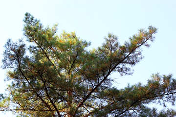 Pine top №38491
