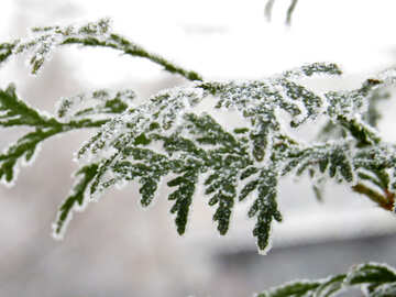 Arborvitae branches covered with Frost №38184