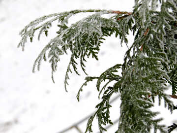 Arborvitae branches covered with Frost №38186