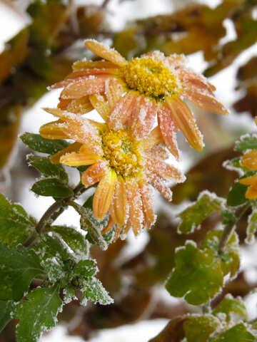 Frozen flowers №38127