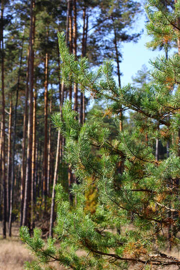 Forest pines №38546