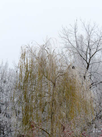 Salix in winter is covered with Frost №38077