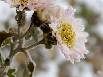 A frozen flower №38116