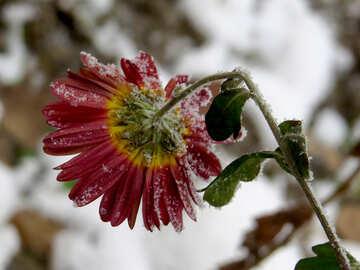 Frozen flower №38120