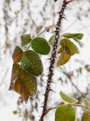 Frozen stalk of roses №38169