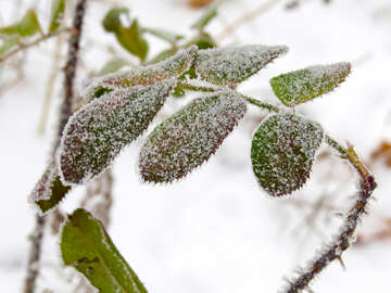 Frost on the leaves of roses №38170
