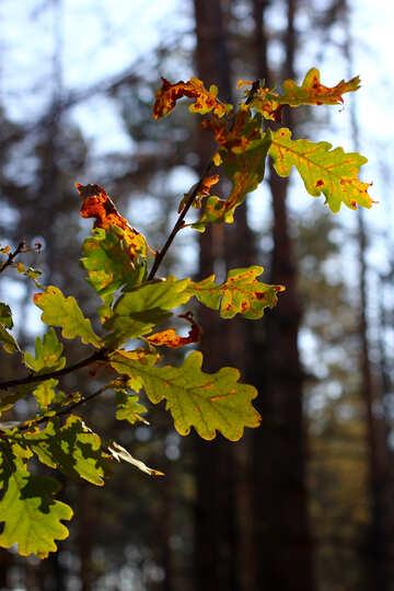 Oak leaf №38516