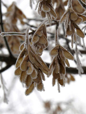 Maple seeds are covered with Frost №38147
