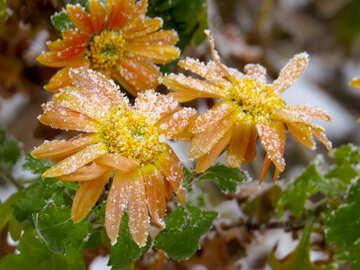 Snow on flowers №38121