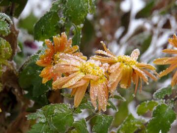 Flowers under snow №38122