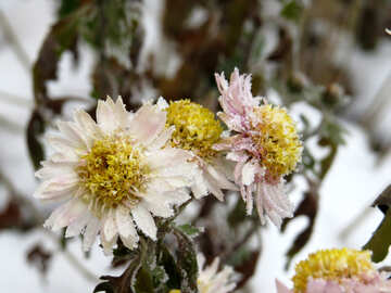Flowers under snow freeze №38117