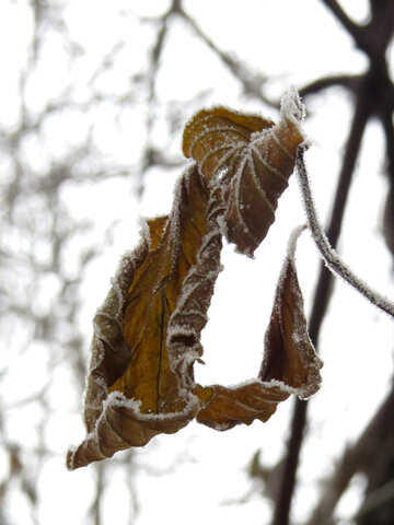 Leaf is covered with Frost №38195