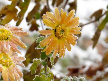 Frost on flower №38125