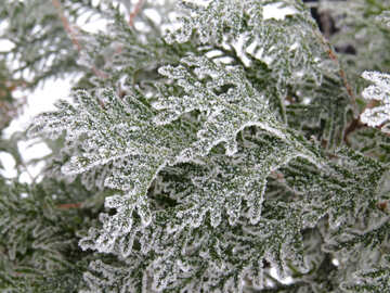 Beautiful pine branches covered with Frost №38174