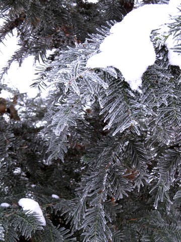 There is snow on the branches of the spruce №38099