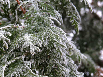 Frost on the branches of the Thuja  №38188