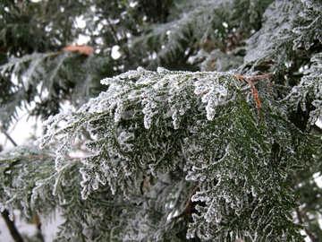 Thuja under snow №38182