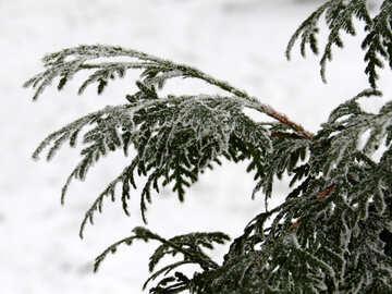 Thuja in winter №38187