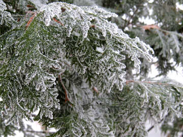 Southern tree is covered with snow №38181