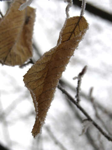 Dry leaf in winter №38143