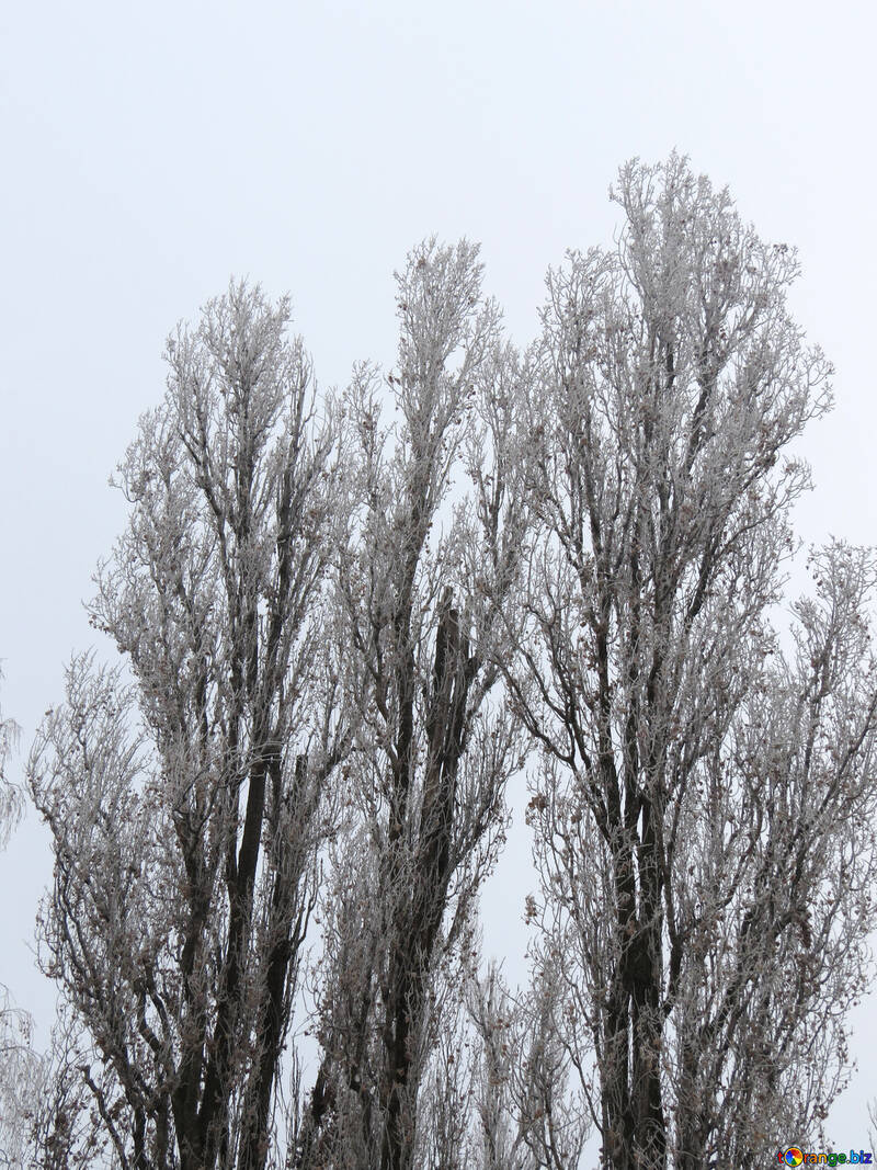 Poplar in winter is covered with Frost №38078