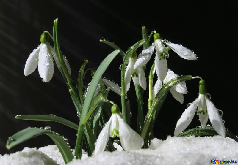 Clip Art Blumen im Schnee №38361