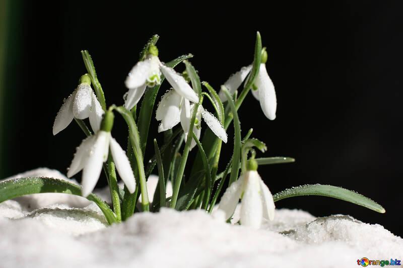 Фотография цветы на снегу  №38273