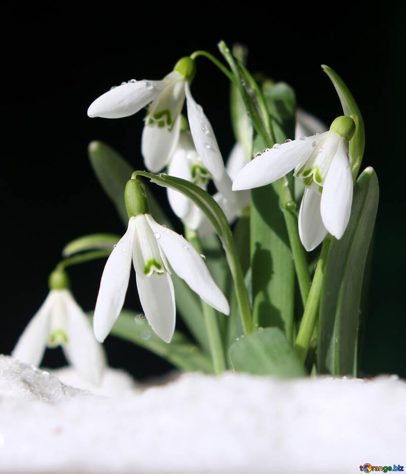 Bilder von Frühlingsblumen №38290