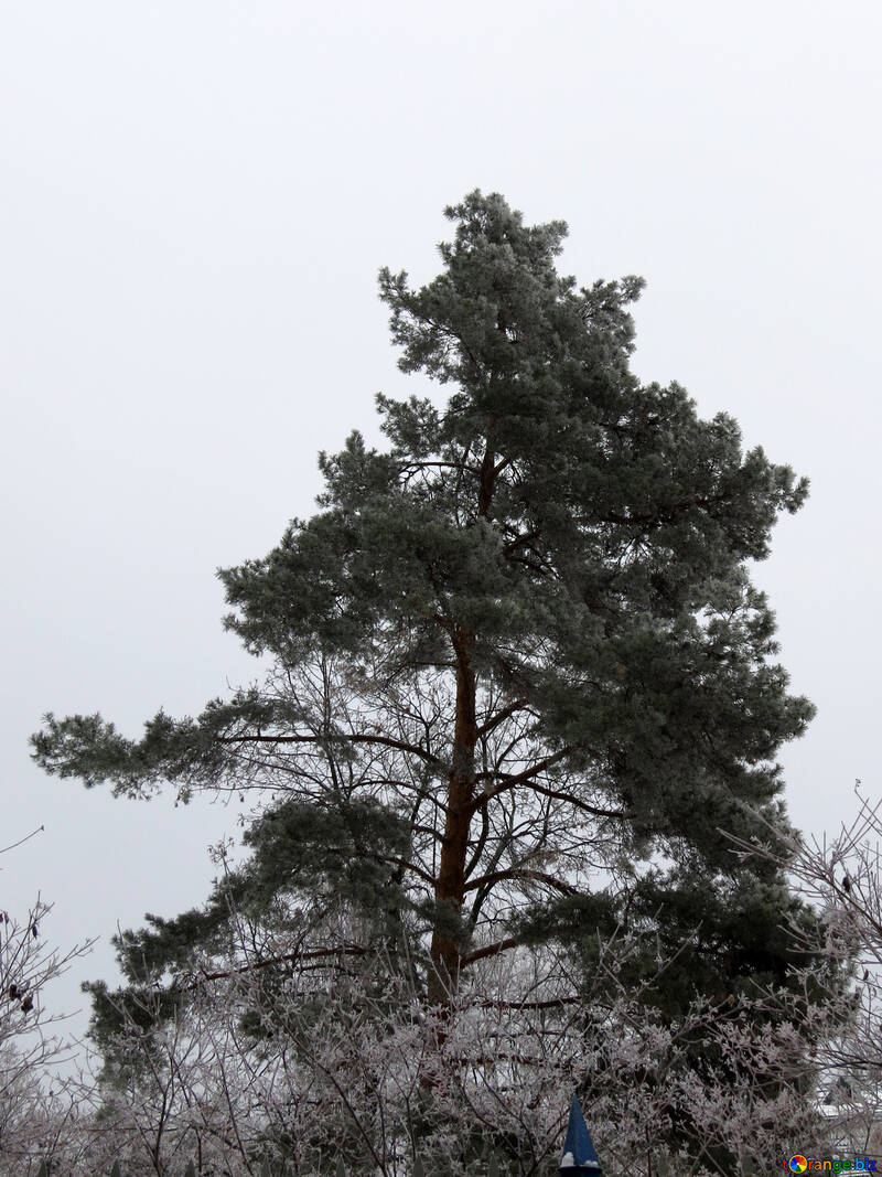 A large Christmas tree in winter №38076