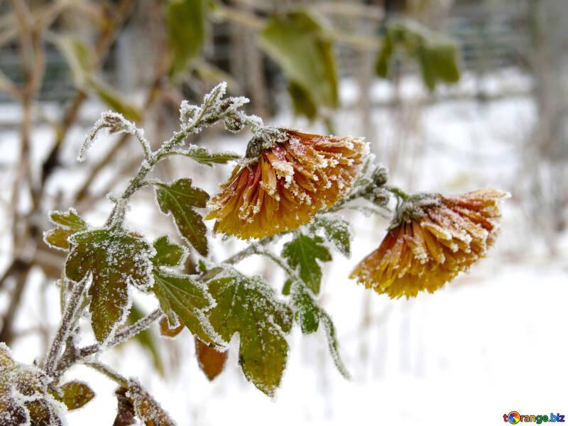 Las flores están cubiertas de escarcha №38161