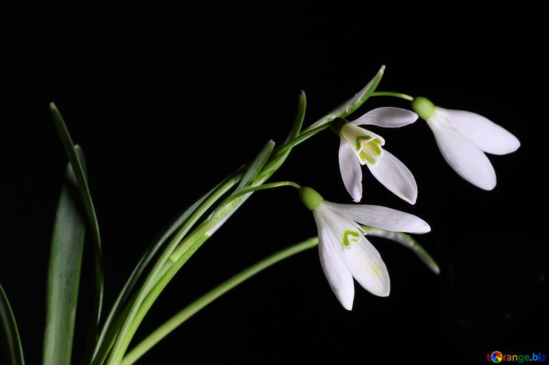 Spring Flower in isolation №38406