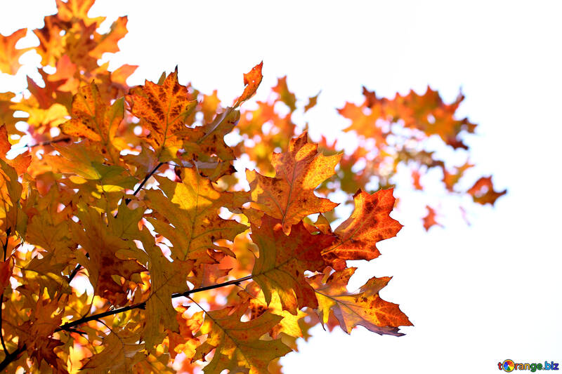 Yellow leaves on white background №38538