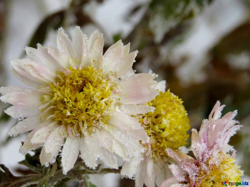 Blumen Makro Frost №38118