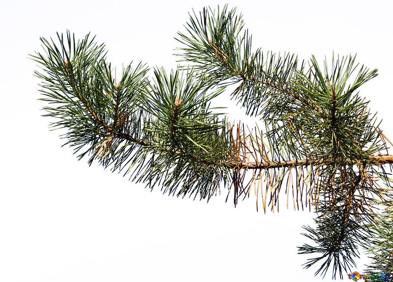 Pine branch is isolated №38544
