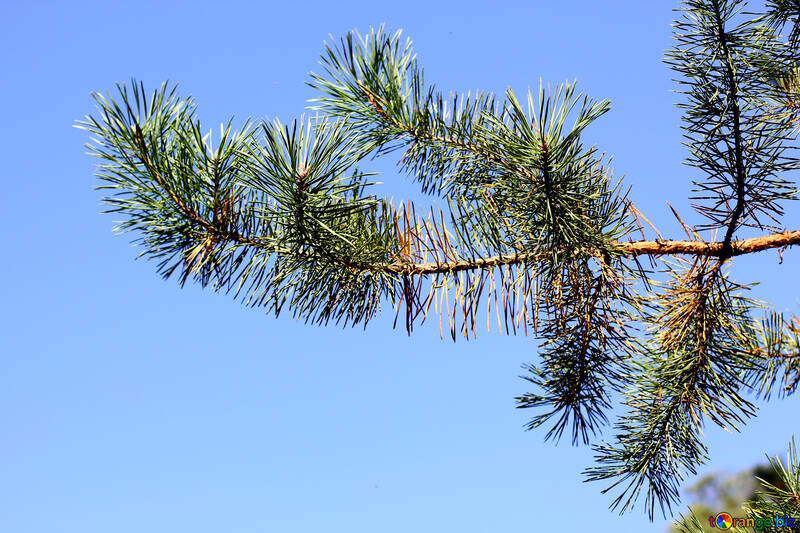 Branch of pine tree on blue background №38545