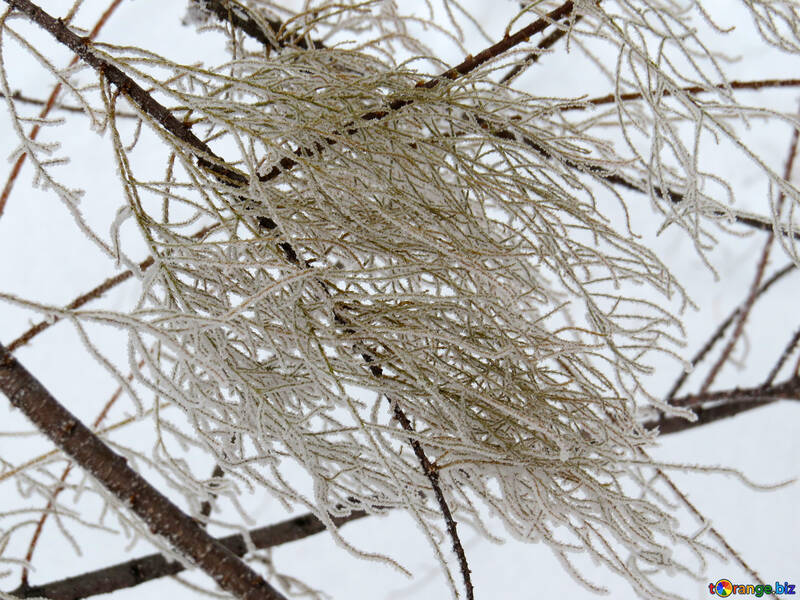 Frost thin branches №38098