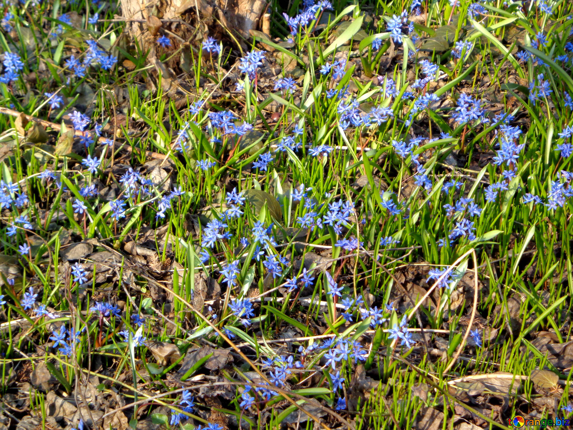 Bluebell Scilla Flowers The First Spring Flowers Snow 39131