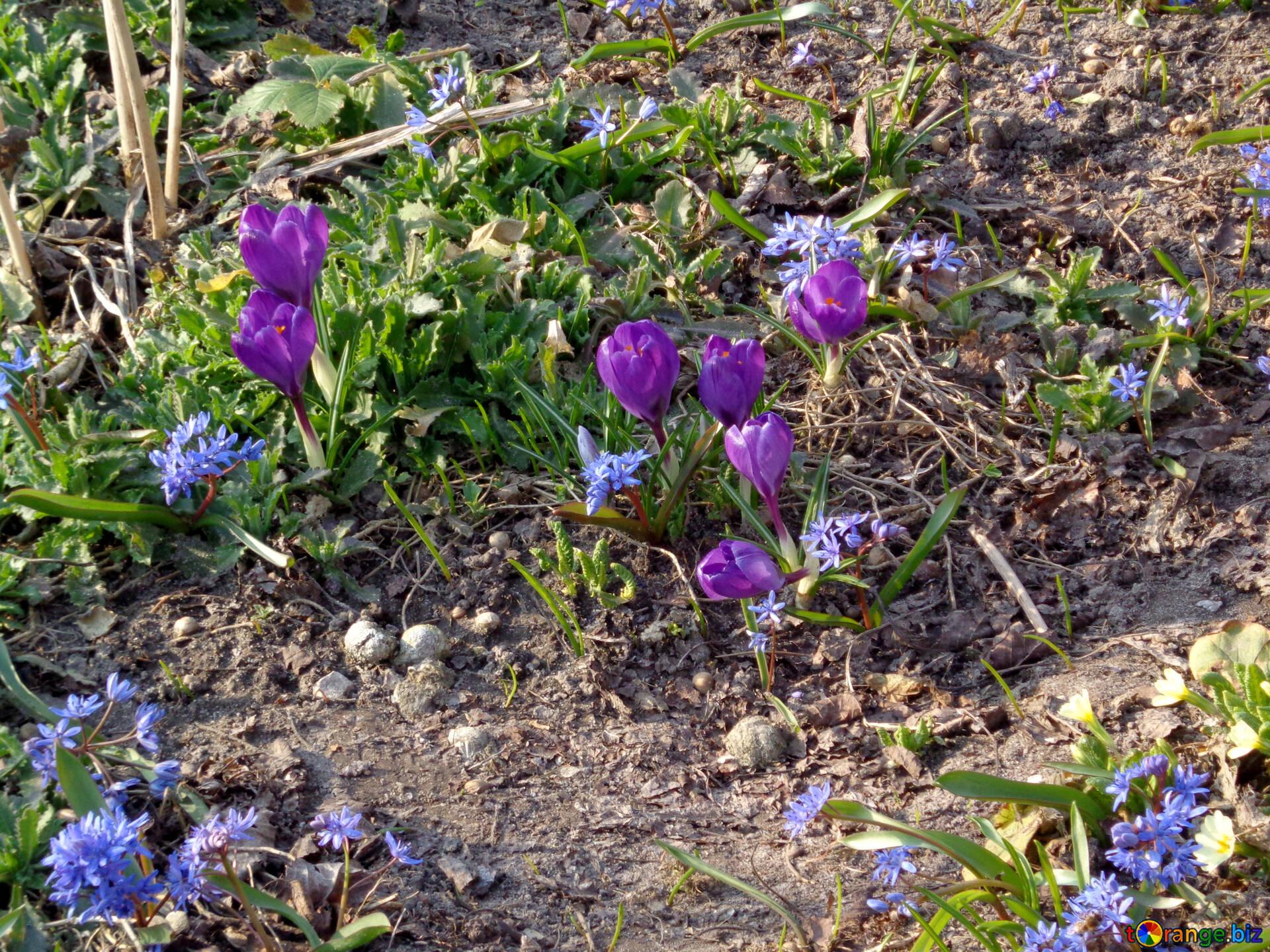 Blumen Krokusse Die Ersten Frühlingsblumen Frühjahr 39136