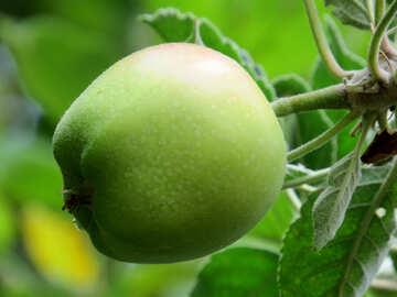 Green Apple №39540