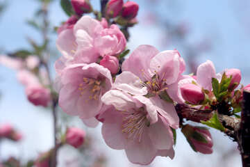 Flower apple №39781