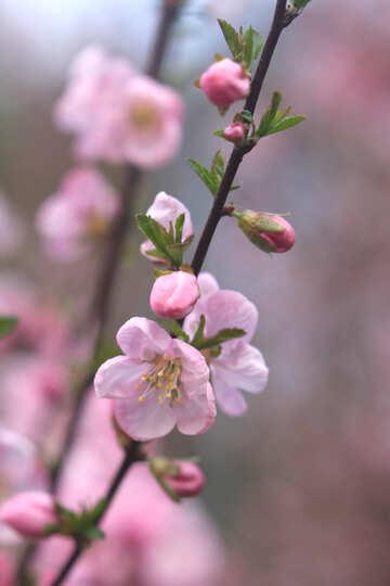 Цветок яблочного дерева №39779