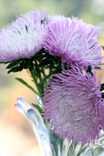Asters in vase №39600