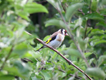 Goldfinch №39213