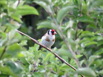 Goldfinch №39216