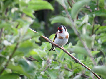 Goldfinch sits on branch №39214