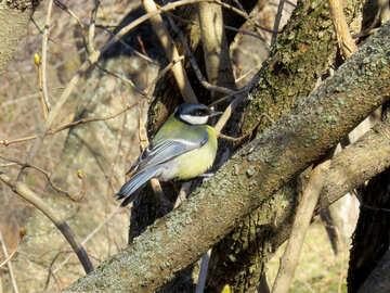 Chickadee bird sitting on the branch №39091
